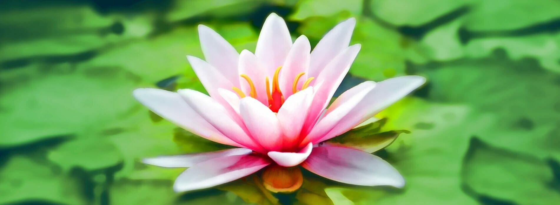 flor-de-lotus-padmasana